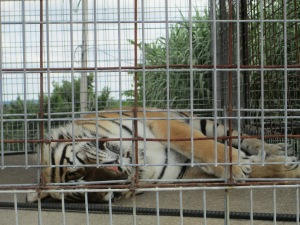 One of the tigers that still has to be moved into his own habitat.