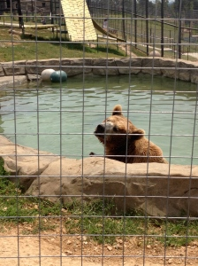 Bam Bam the Grizzly Bear has his own pond and habitat at the Turpentine Creek Wildlife Refuge.