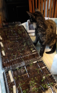 100s of milkweed seedlings watched over by our kitten.