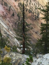 A tree hit by lightning in Yellowstone and the strata.
